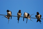 swallow (Hirundo rustica)